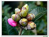小玫瑰茶花-茶科-木本花卉:小玫瑰茶花6.JPG