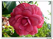 玫瑰茶花-茶科-木本花卉:玫瑰茶花06.JPG