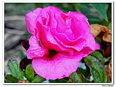 繞月杜鵑-杜鵑花科-木本花卉:繞月杜鵑09.jpg