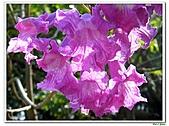 洋紅風鈴木-紫葳科-木本花卉:洋紅風鈴木203.jpg