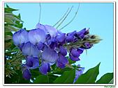 紫藤-豆科-藤蔓植物:紫藤07.jpg