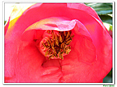 小紅茶花-茶科-木本花卉:小紅茶花07.JPG