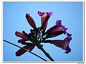 洋紅風鈴木-紫葳科-木本花卉:洋紅風鈴木204.jpg