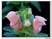 金魚草-玄參科-草本花卉:金魚草21.jpg