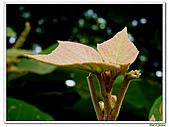 野桐(雄花)-大戟科-木本花卉:野桐-雄花17.jpg