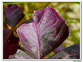 紫葉酢漿草-酢漿草科-草本花卉:紫葉酢漿草21.jpg