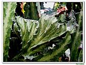 三角柱-仙人掌科-多肉植物-沙漠植物:三角柱12.jpg