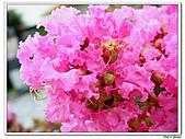 小花紫薇(紫紅色)-千屈菜科-木本花卉:小花紫薇-紫紅色17.jpg