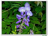 紫藤-豆科-藤蔓植物:紫藤08.jpg