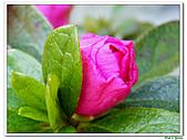 繞月杜鵑-杜鵑花科-木本花卉:繞月杜鵑10.jpg