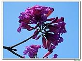 洋紅風鈴木-紫葳科-木本花卉:洋紅風鈴木207.jpg