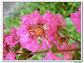 小花紫薇(紫紅色)-千屈菜科-木本花卉:小花紫薇-紫紅色18.jpg