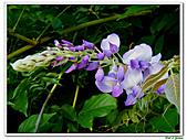 紫藤-豆科-藤蔓植物:紫藤09.jpg