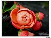 刺梅-薔薇科-木本花卉:刺梅213.JPG