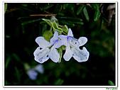 匍匐迷迭香-唇形科-香草植物-草本花卉-地被植物:匍匐迷迭香18.jpg