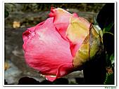玫瑰茶花-茶科-木本花卉:玫瑰茶花07.JPG