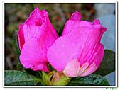 繞月杜鵑-杜鵑花科-木本花卉:繞月杜鵑11.jpg
