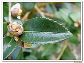 小玫瑰茶花-茶科-木本花卉:小玫瑰茶花7.JPG
