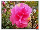 迷思杜鵑-杜鵑花科-木本花卉:迷思杜鵑1.jpg