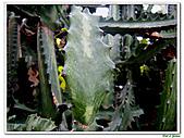 三角柱-仙人掌科-多肉植物-沙漠植物:三角柱13.jpg