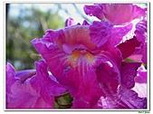 洋紅風鈴木-紫葳科-木本花卉:洋紅風鈴木208.jpg