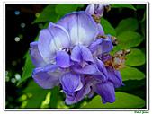 紫藤-豆科-藤蔓植物:紫藤10.jpg