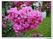 小花紫薇(紫紅色)-千屈菜科-木本花卉:小花紫薇-紫紅色19.jpg