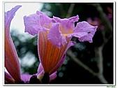 洋紅風鈴木-紫葳科-木本花卉:洋紅風鈴木209.jpg