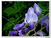 紫藤-豆科-藤蔓植物:紫藤11.jpg