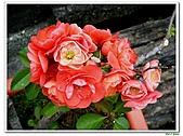 刺梅-薔薇科-木本花卉:刺梅214.JPG