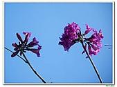 洋紅風鈴木-紫葳科-木本花卉:洋紅風鈴木211.jpg