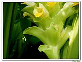 鬱金(薑黃)-薑科-球根植物:鬱金19.jpg