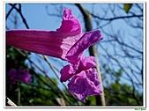洋紅風鈴木-紫葳科-木本花卉:洋紅風鈴木212.jpg