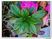 繞月杜鵑-杜鵑花科-木本花卉:繞月杜鵑12.jpg