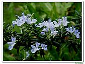 匍匐迷迭香-唇形科-香草植物-草本花卉-地被植物:匍匐迷迭香06.jpg
