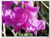 洋紅風鈴木-紫葳科-木本花卉:洋紅風鈴木213.jpg