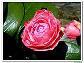 玫瑰茶花-茶科-木本花卉:玫瑰茶花08.JPG