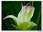 鬱金(薑黃)-薑科-球根植物:鬱金02.jpg