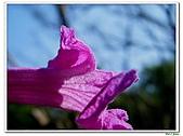 洋紅風鈴木-紫葳科-木本花卉:洋紅風鈴木214.jpg