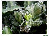 三角柱-仙人掌科-多肉植物-沙漠植物:三角柱14.jpg