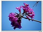 洋紅風鈴木-紫葳科-木本花卉:洋紅風鈴木215.jpg