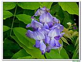 紫藤-豆科-藤蔓植物:紫藤12.jpg