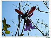 洋紅風鈴木-紫葳科-木本花卉:洋紅風鈴木216.jpg