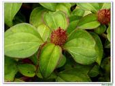 蔓性野牡丹-野牡丹科-藤蔓植物-地被植物:蔓性野牡丹16.jpg