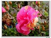 迷思杜鵑-杜鵑花科-木本花卉:迷思杜鵑2.jpg