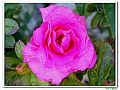 繞月杜鵑-杜鵑花科-木本花卉:繞月杜鵑13.jpg