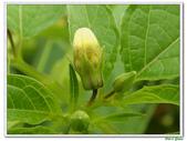 燈籠草(苦蘵)-茄科-藤蔓植物-飢荒野菜:燈籠草(苦蘵)18.JPG