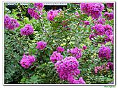 小花紫薇(紫紅色)-千屈菜科-木本花卉:小花紫薇-紫紅色20.jpg