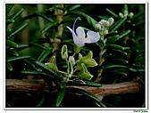 匍匐迷迭香-唇形科-香草植物-草本花卉-地被植物:匍匐迷迭香19.jpg