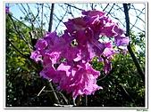 洋紅風鈴木-紫葳科-木本花卉:洋紅風鈴木217.jpg